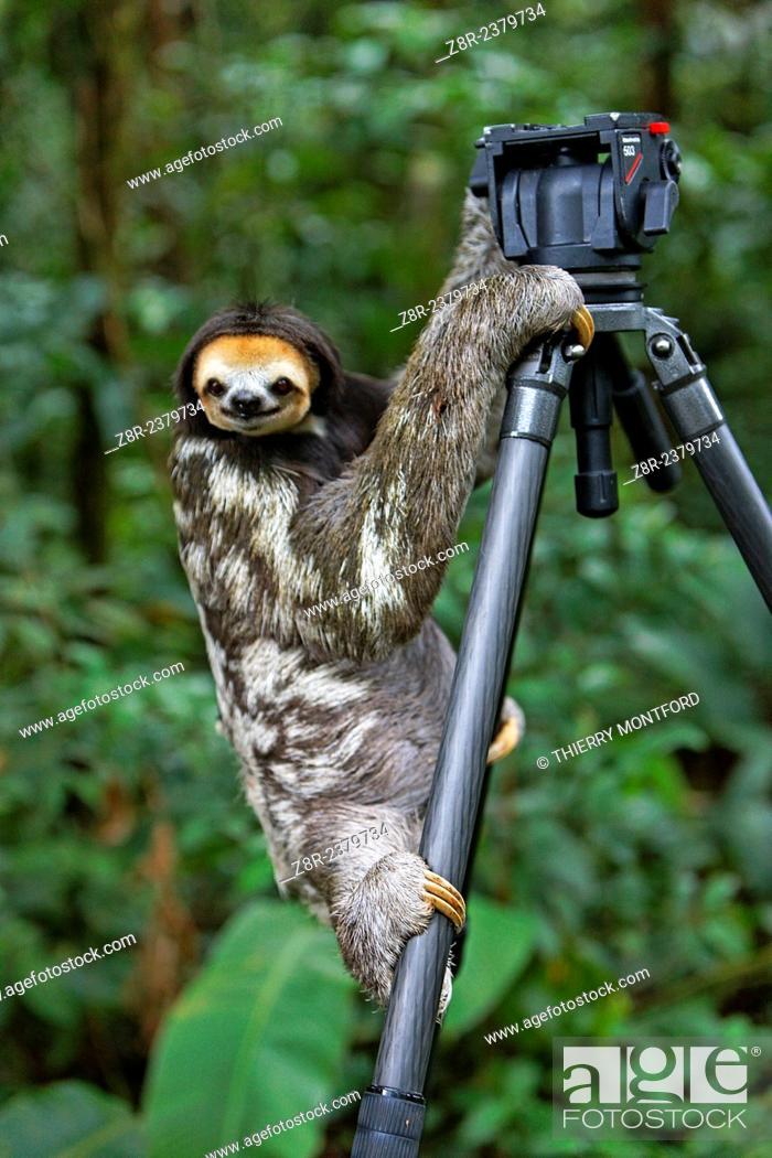 Stock Photo: Bradypus tridactylus. Sloth on a tripod. French Guiana.