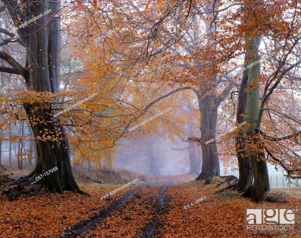 Stock Photo: Beech (Fagus sylvatica) wood. Ashridge, Hertfordshire, England, UK.