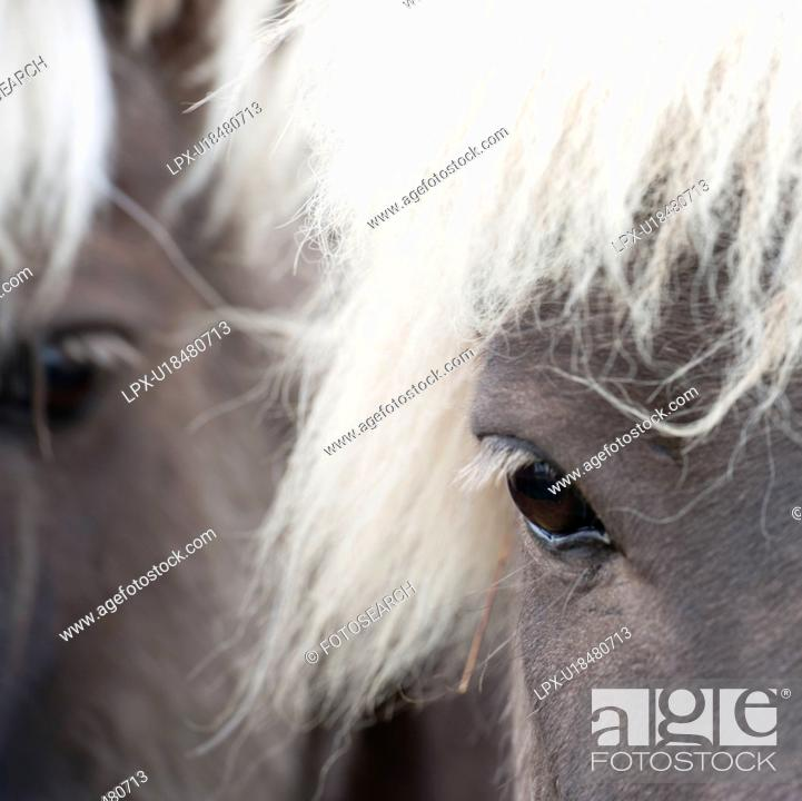 Stock Photo: Icelandic horses , closeup of eye.