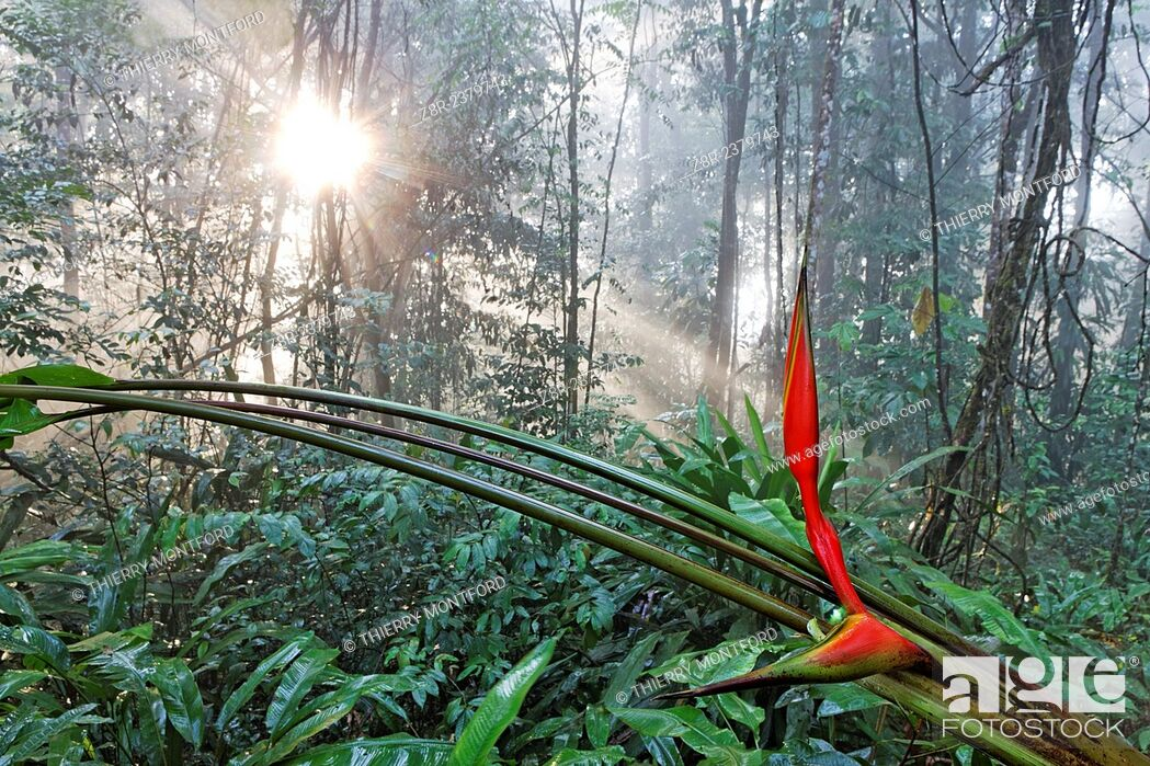Stock Photo: Heliconia and sunset in the rainforest. French Guiana.