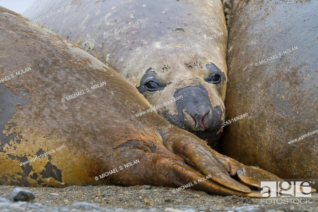 Stock Photo: Southern elephant seals Mirounga leonina hauled out for their annual catastrophic molt on the beach at Snow Island, Antarctica.