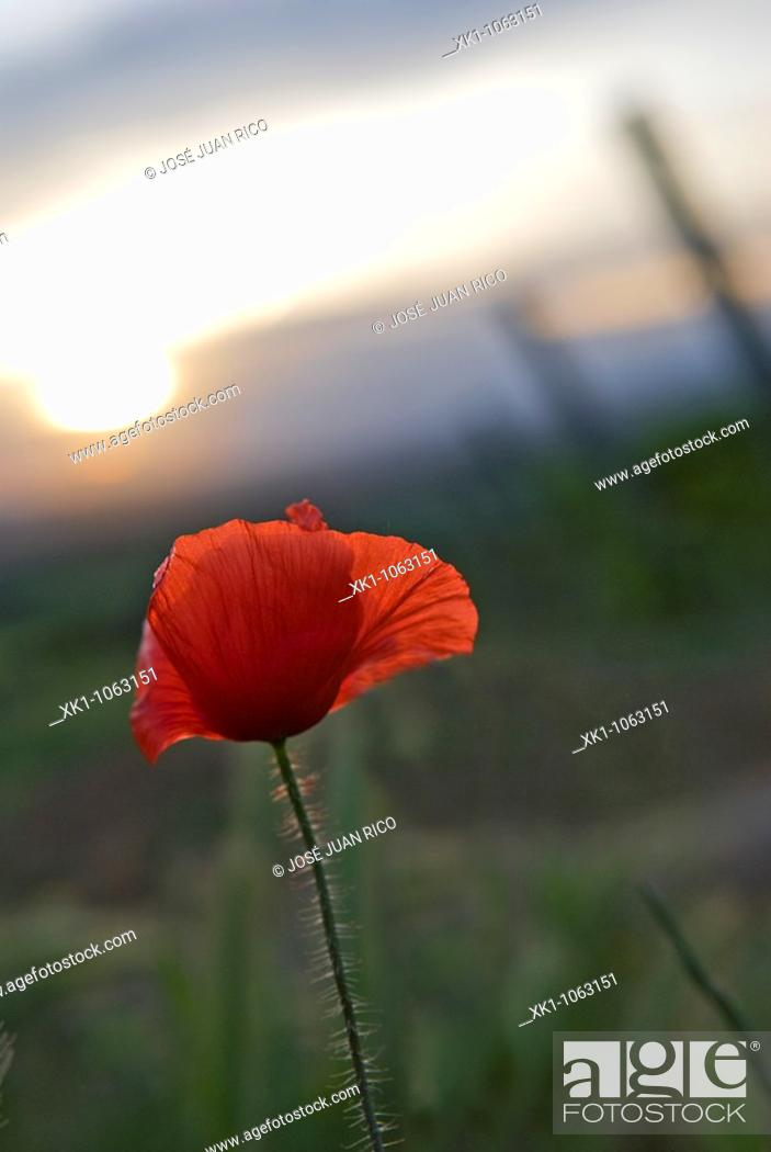 Stock Photo: Poppy in vineyard, Barbastro, Huesca, Spain.