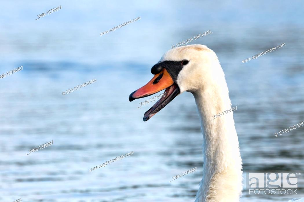 Stock Photo: Mute swan with open mouth.