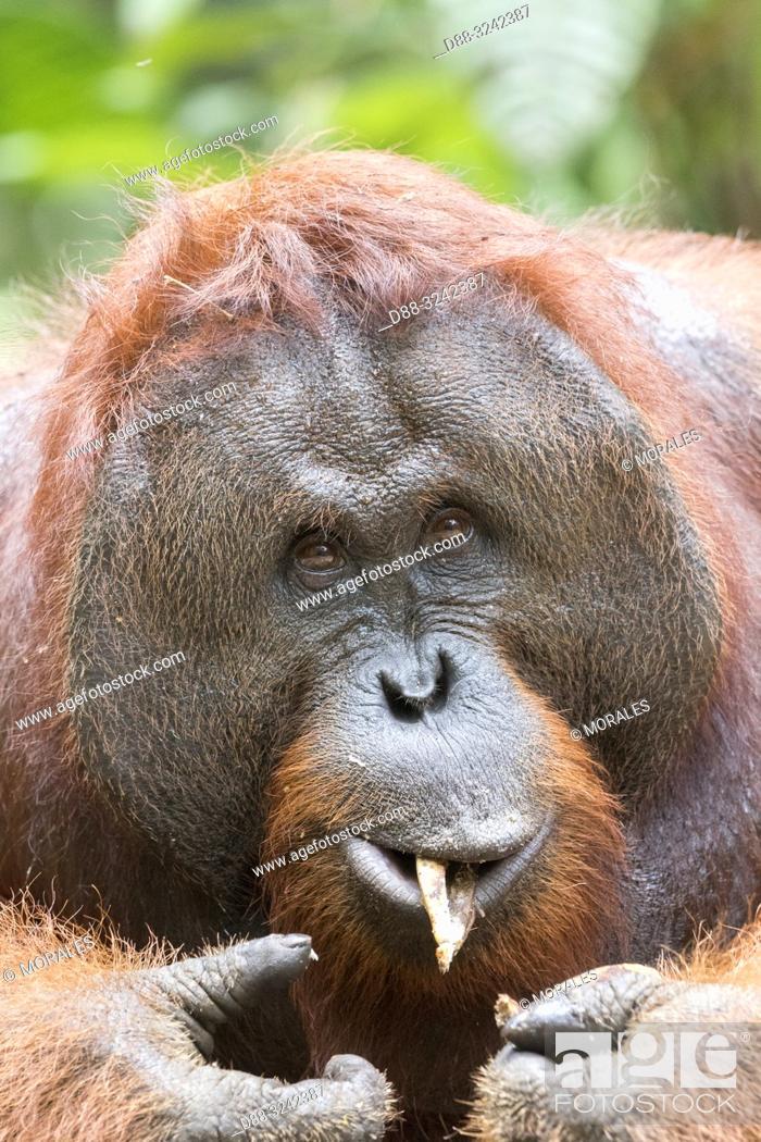Stock Photo: Asia, Indonesia, Borneo, Tanjung Puting National Park, Bornean orangutan (Pongo pygmaeus pygmaeus), adult male.