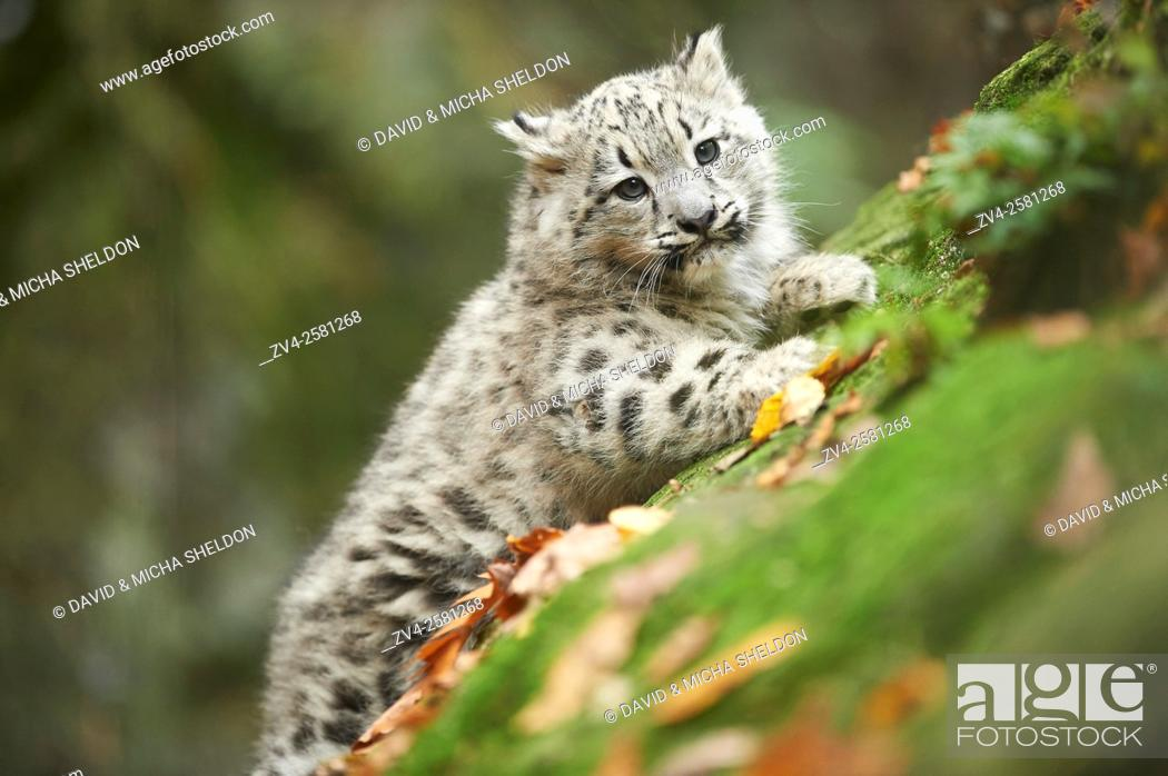 Stock Photo: Close-up of a snow leopard (Panthera uncia syn. Uncia uncia) youngster in autumn. Captive. Germany.