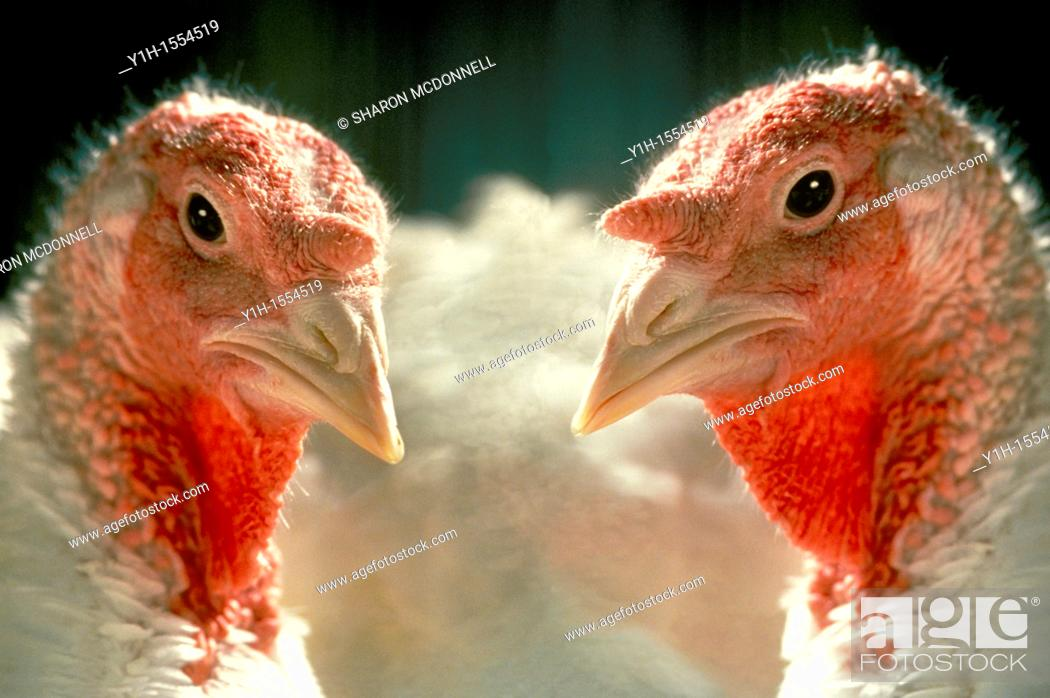 Stock Photo: Two Nicholas domestic turkeys side by side in Vermont farm, USA.