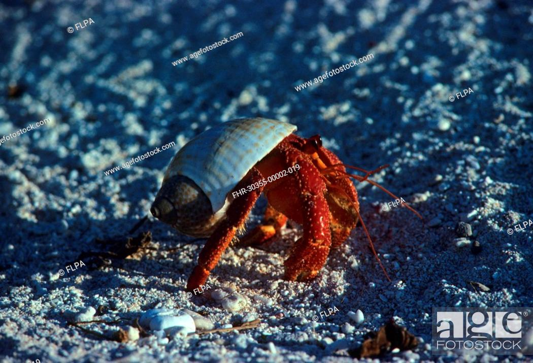 Photo de stock: Hermit Crab Dardanus megistos walking on beach, Great Barrier Reef, Australia.