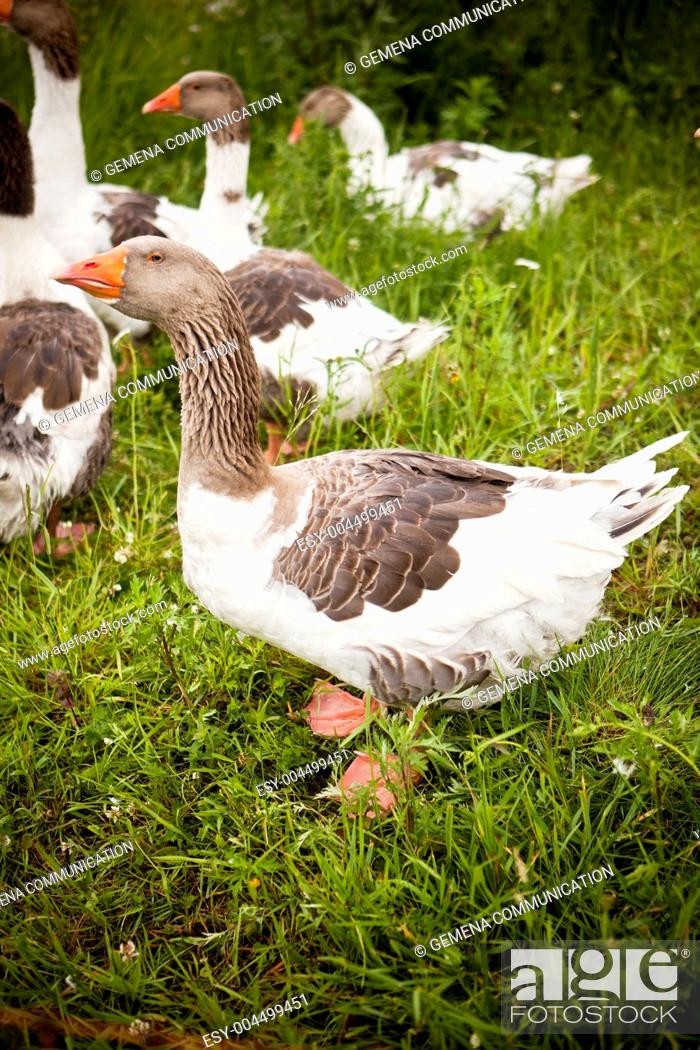 Stock Photo: Domestic Ducks.