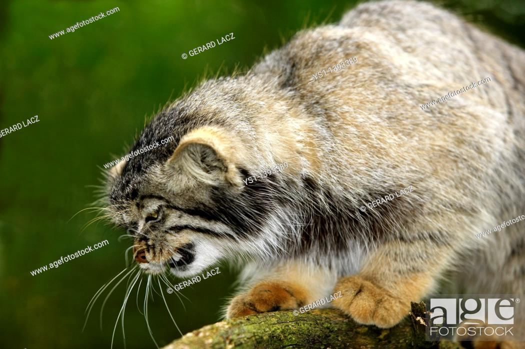 Stock Photo: Manul or Pallas's Cat, otocolobus manul, Adult Snarling.