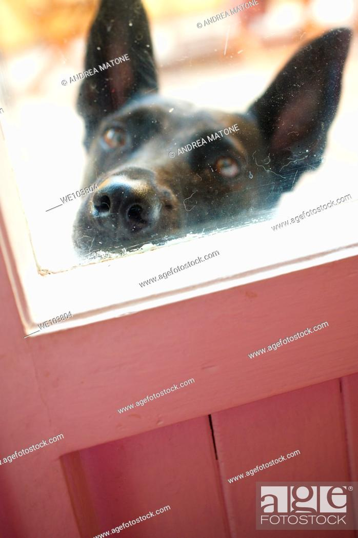 Stock Photo: An black dog muzzle against the window door.