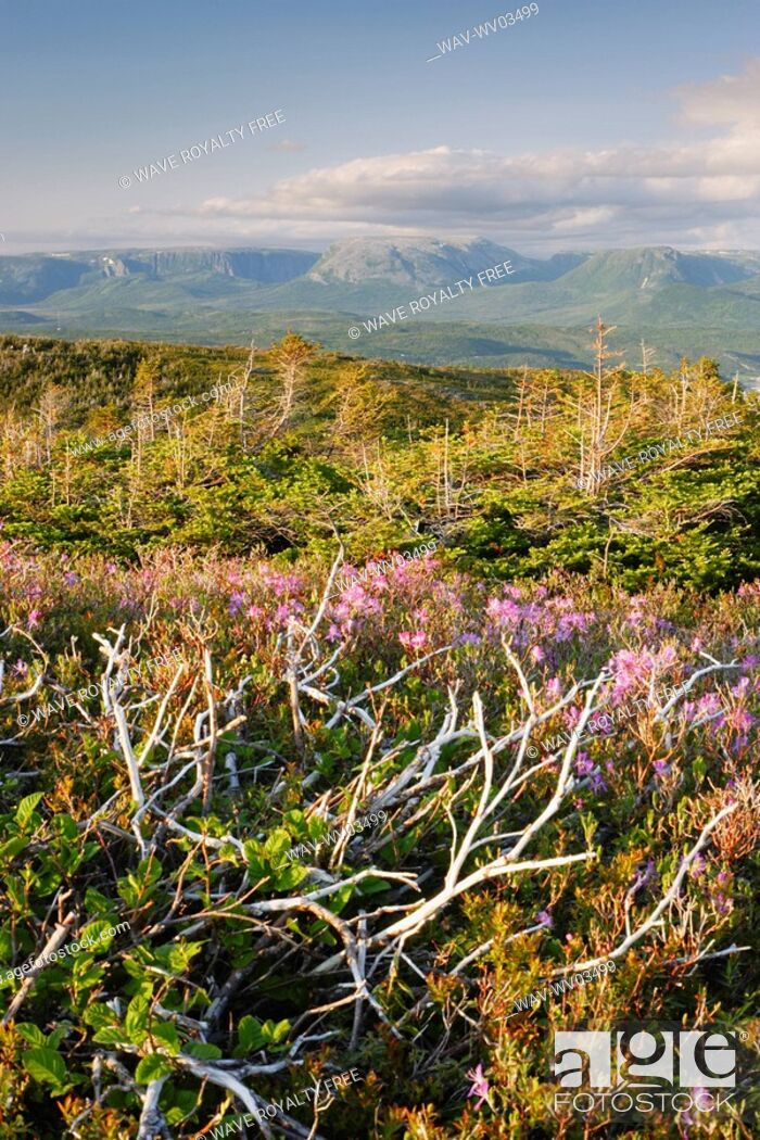 Stock Photo: View of flowers and Gros Morne Mountain at sunset, Gros Morne NP, Newfoundland, Canada.