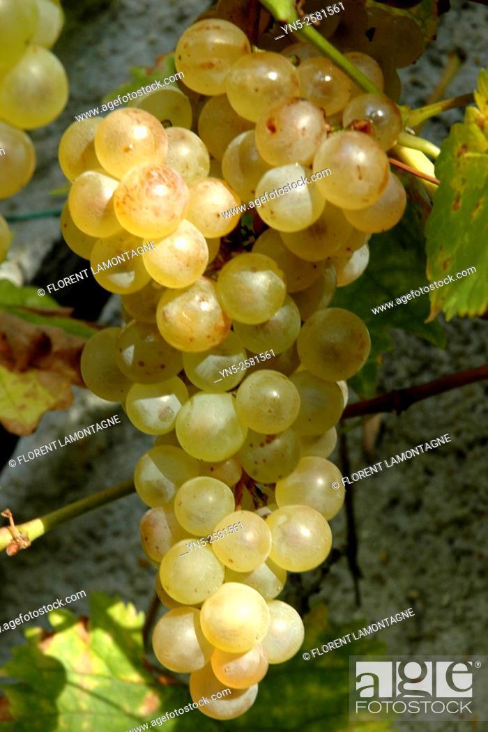 Stock Photo: Bunch of yellow grape 'Chasselas Danuta'.