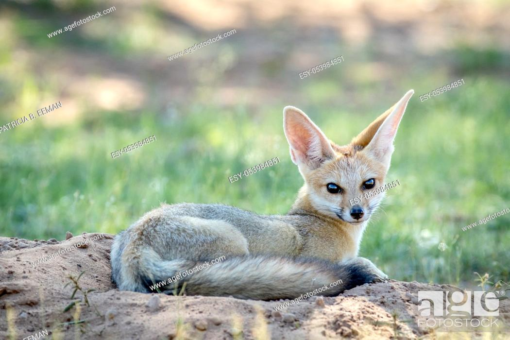 Stock Photo: Cape fox laying down in the sand in the Kalagadi Transfrontier Park, South Africa.