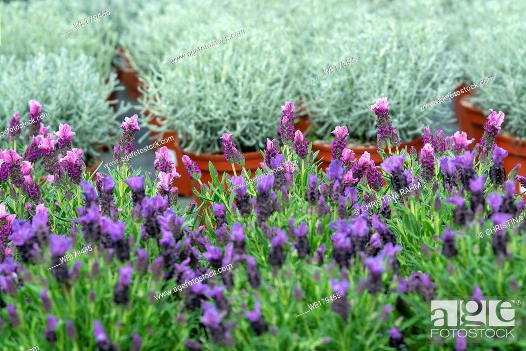 Stock Photo: Lavender purple flowers closeup Lavendula officinalis. Spring garden series, Mallorca, Spain.