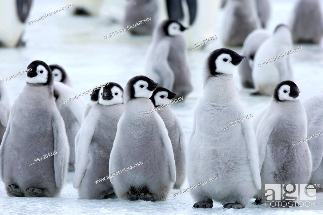Stock Photo: Emperor Penguin (Aptenodytes forsteri). Group of chicks standing on ice. Snow Hill Island, Antarctica.
