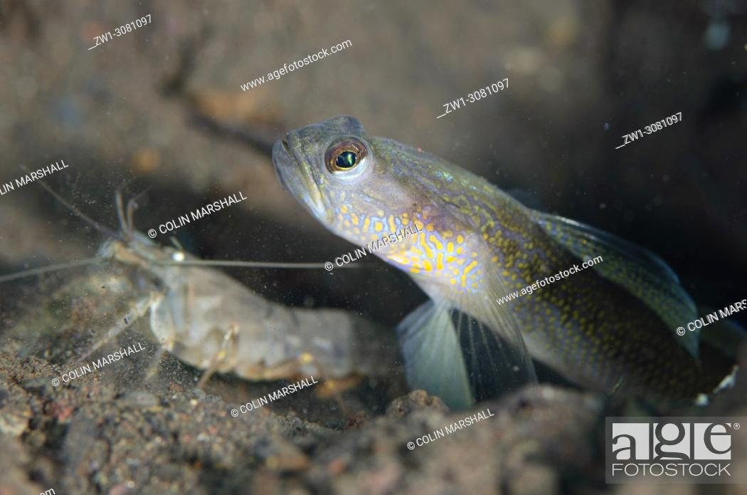 Stock Photo: Male Dorsalspot Shrimpgoby (Vanderhorstia dorsomacula, Gobioidei family) with Snapping Shrimp (Alpheus sp. ) by hole in sand, Segara dive site, Seraya.