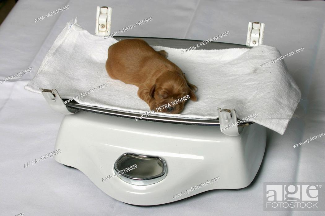Cavalier King Charles Spaniel Puppy 5 Days On Scale Weigh