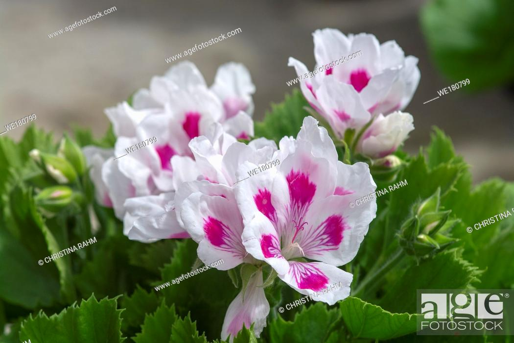 Stock Photo: White geranium flowers with pink spots and green leaves closeup macro photo.