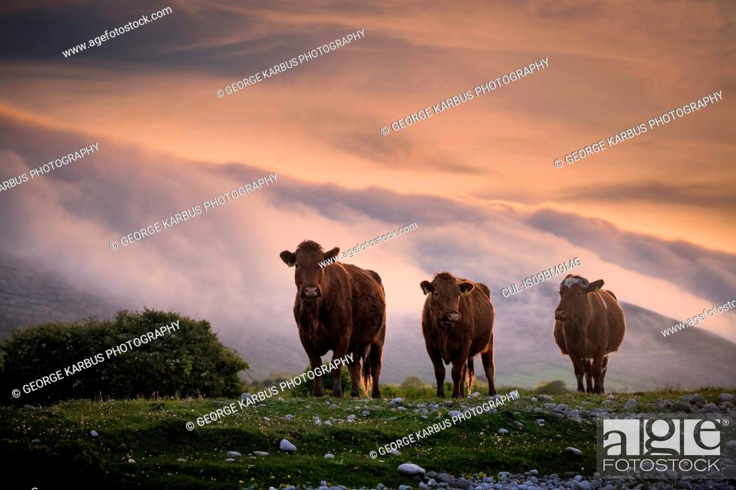 Stock Photo: Cows, floating mist at sunset in background, Fanore, Clare, Ireland.