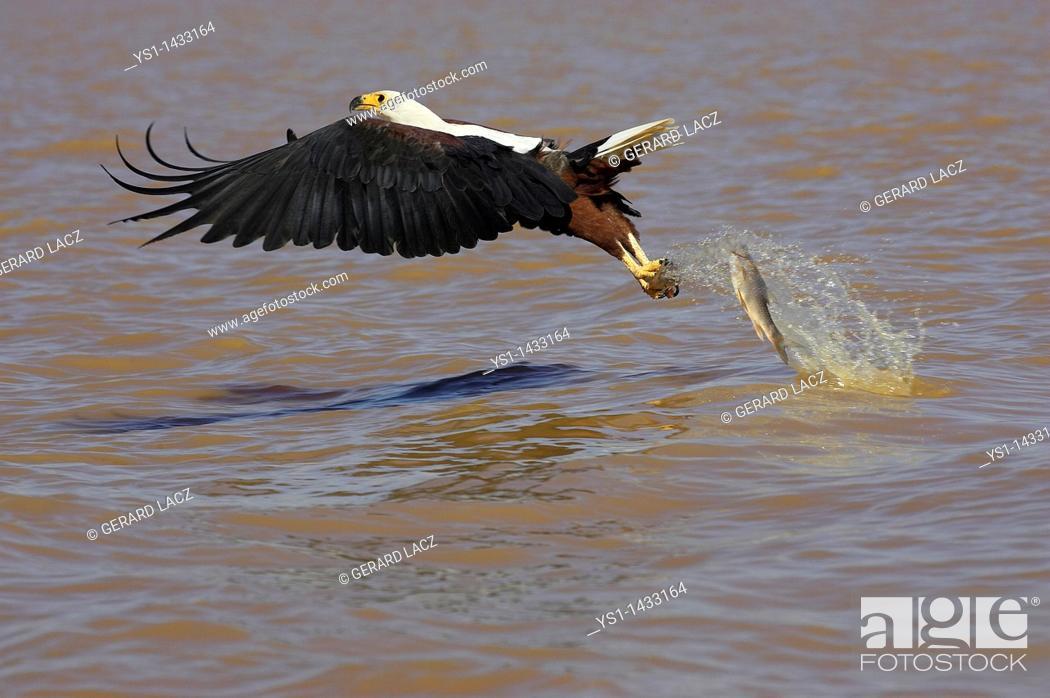 Imagen: AFRICAN FISH-EAGLE haliaeetus vocifer, ADULT IN FLIGHT LOOSING FISH, BARINGO LAKE IN KENYA.