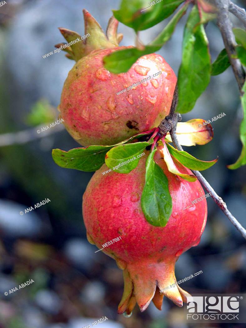 Stock Photo: Pomegranates on tree.