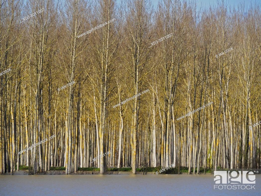 Stock Photo: poplar grove, Salicaceae spp. and flooded field near the Canal de Garonne near Marmande, Lot-et-Garonne Department, Aquitaine, France.