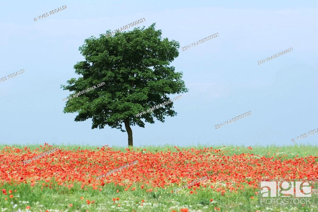 Stock Photo: Tree in field of poppies.