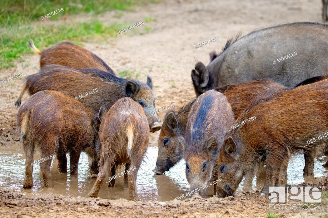 Stock Photo: France, Haute Saone, Private park, Wild Boar (Sus scrofa), sow with youngs.