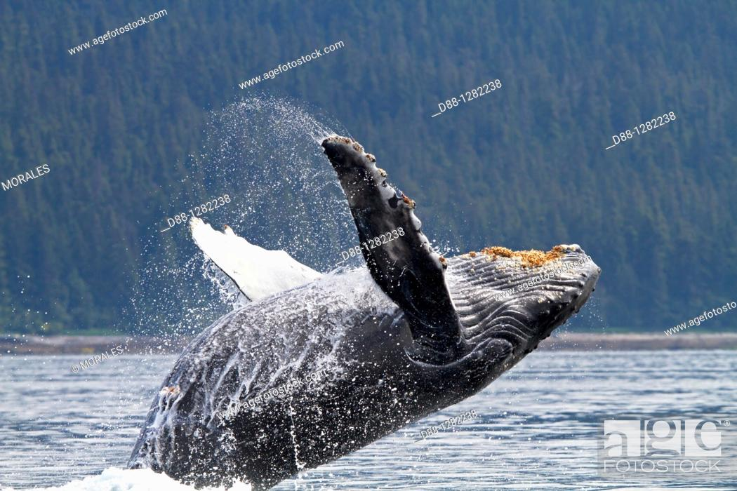 Stock Photo: Humpback whale  Breach  Breaching  The whale is leaping into the air , rotating and landing on its back or side to create a chin-slap Megaptera novaeangliae.