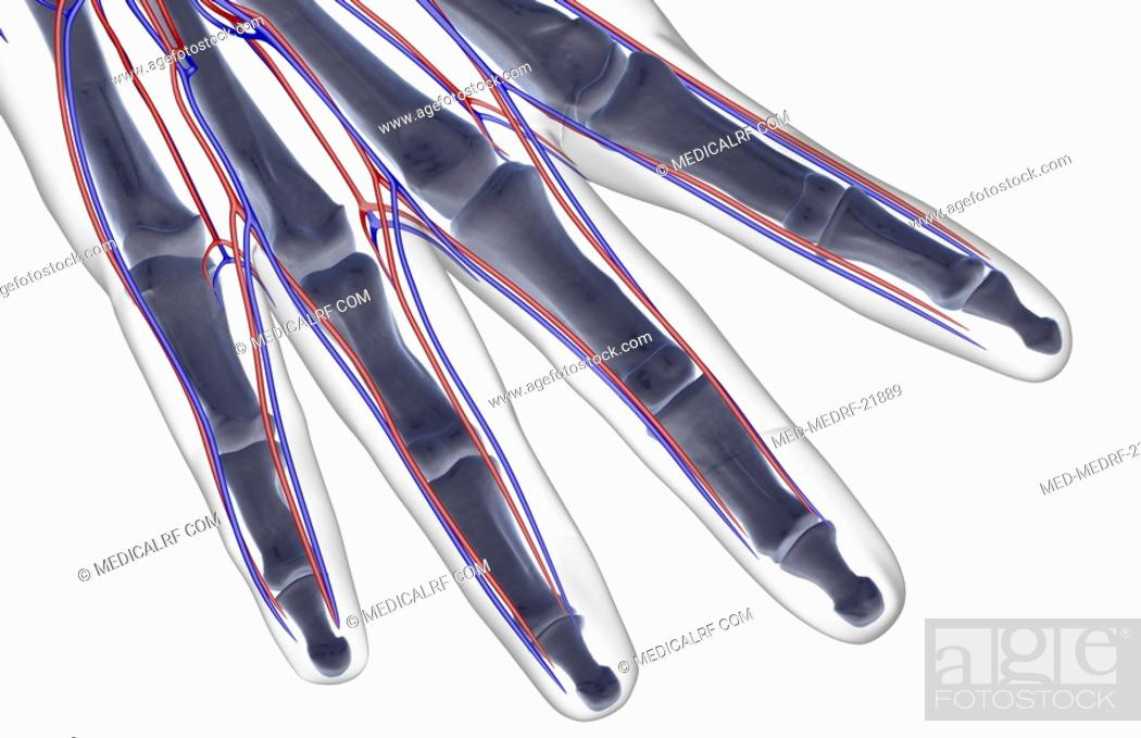 Stock Photo: The blood supply of the fingers.