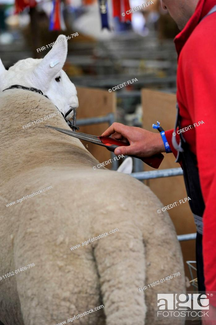 Stock Photo: Domestic Sheep, adult, being clipped at show, Royal Highland Show, Ingliston, Edinburgh, Scotland, June 2015.