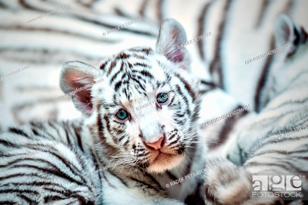 a pair of two month baby white tigers cuddle with their mother surya