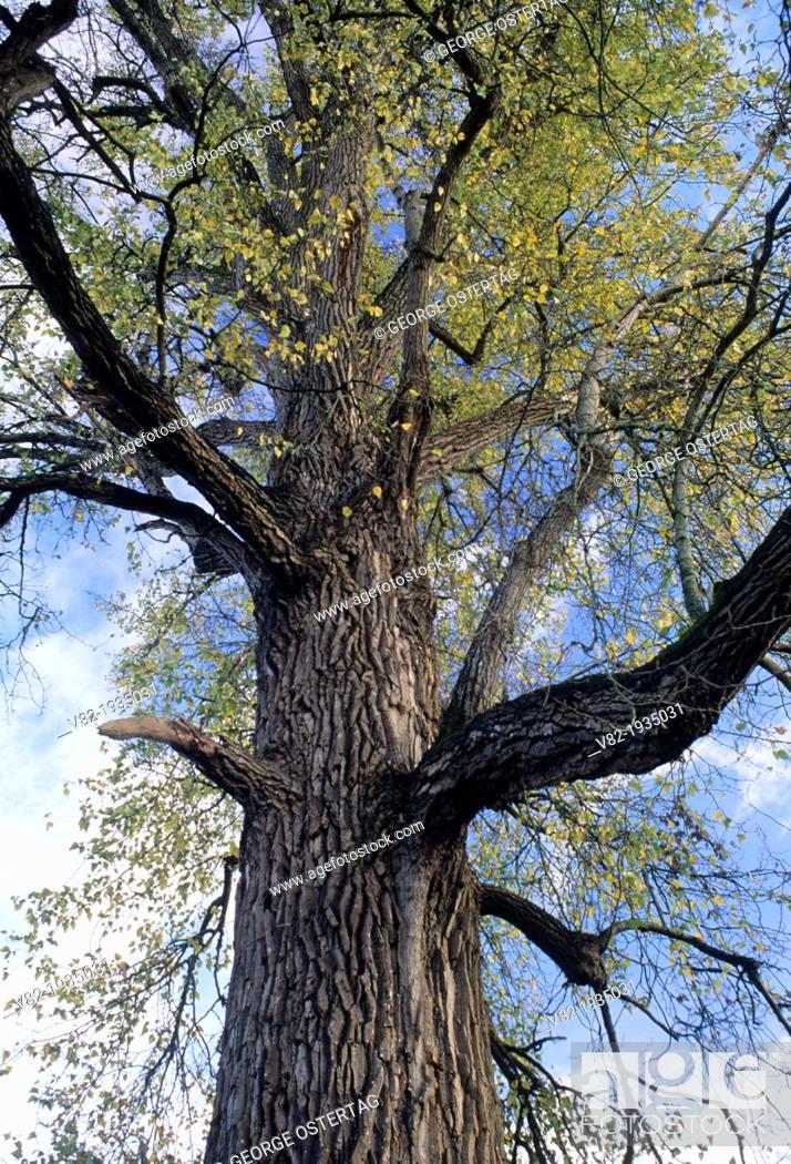 Stock Photo: Worlds largest black cottonwood, Willamette Mission State Park, Oregon.