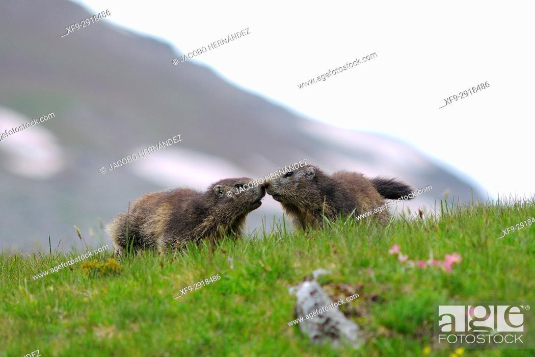 Stock Photo: Alpine Marmot (Marmota marmota). Ordesa National Park. Pirineos mountains. Huesca province. Aragon. Spain.