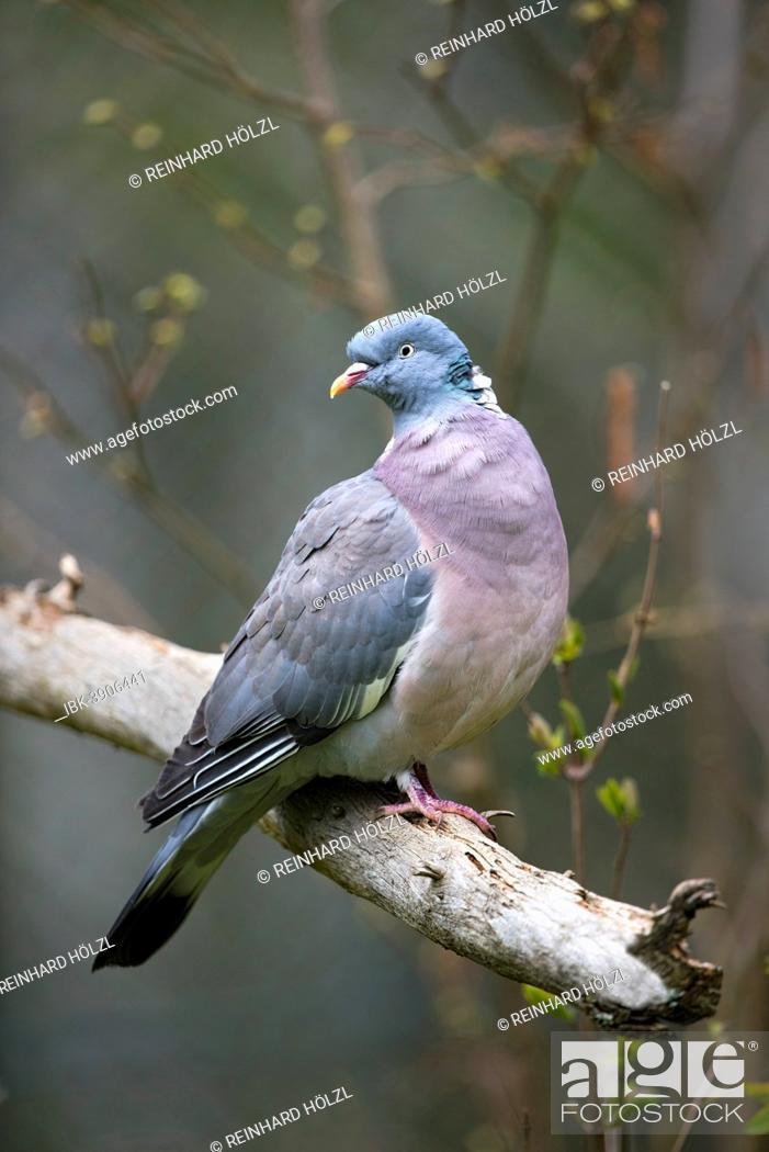 Stock Photo: Wood Pigeon (Columba palumbus), captive, animal enclosure, Bavarian Forest National Park, Bavaria, Germany.