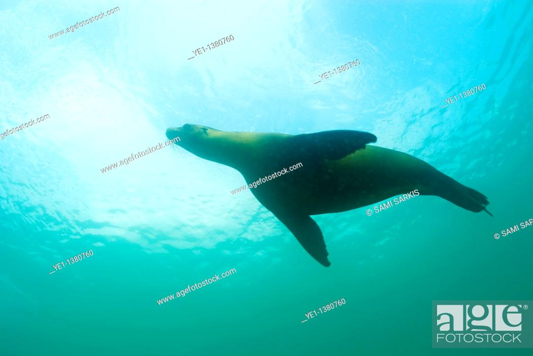 Stock Photo: Sea lion Zalophus californianus swimming, Underwater view, Ecuador, Galapagos Archipelago, San Cristobal Island.