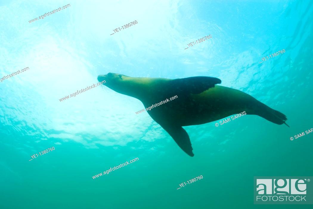 Stock Photo: Sea lion Zalophus californianus swimming, Underwater view, Ecuador, Galapagos Archipelago, San Cristobal Island.