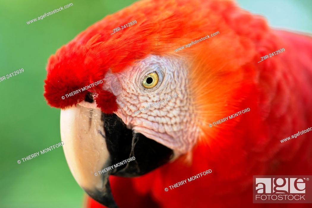 Stock Photo: Ara macao. Red macaw. Portrait. Salvation islands. French Guiana.