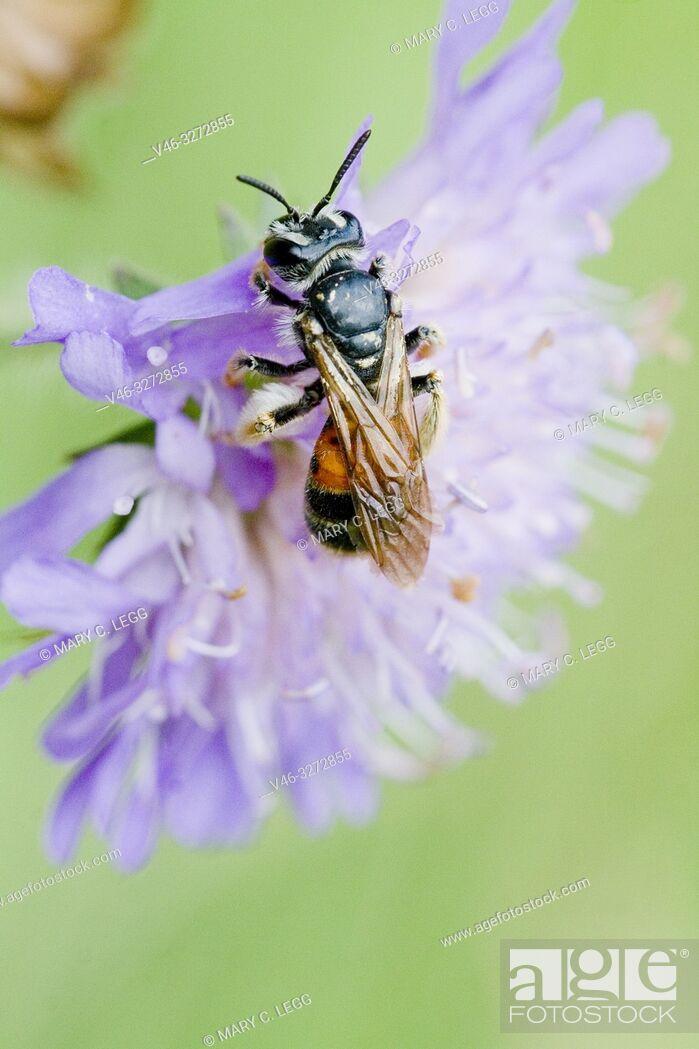 Stock Photo: Mining Bee, Andrena hattorfiana on Field scabious Knautia arvensis. Mining Bee, Andrena hattorfiana on Knautia. A red and black solitary mining bee with sparse.