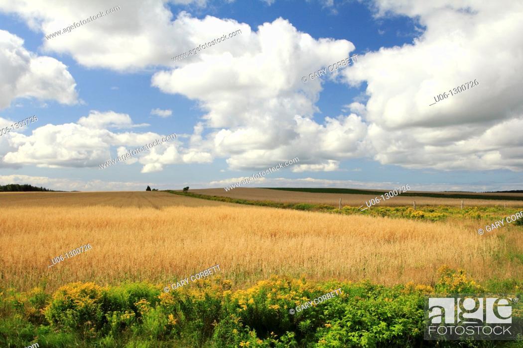 Stock Photo: A field of wheat at Prince Edward island, Canada.