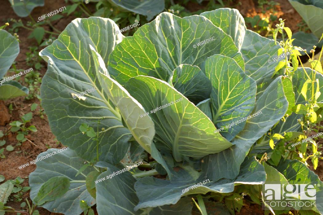 Stock Photo: Kale, plantations, agriculture, Brazil.