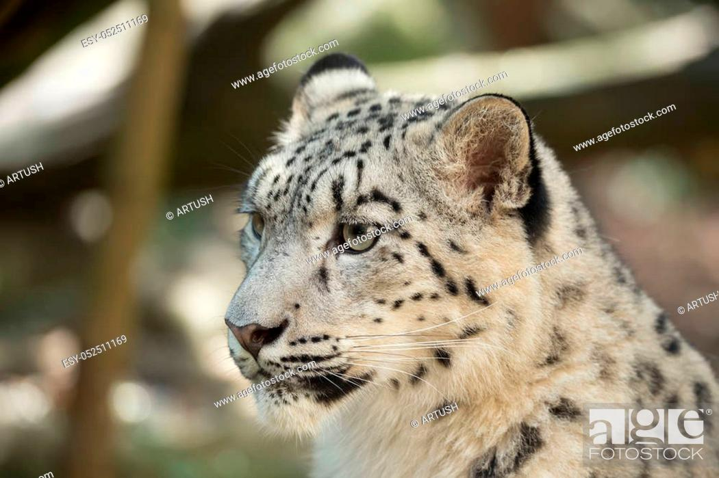 Stock Photo: portrait of big cat snow leopard - Irbis, Uncia uncia.