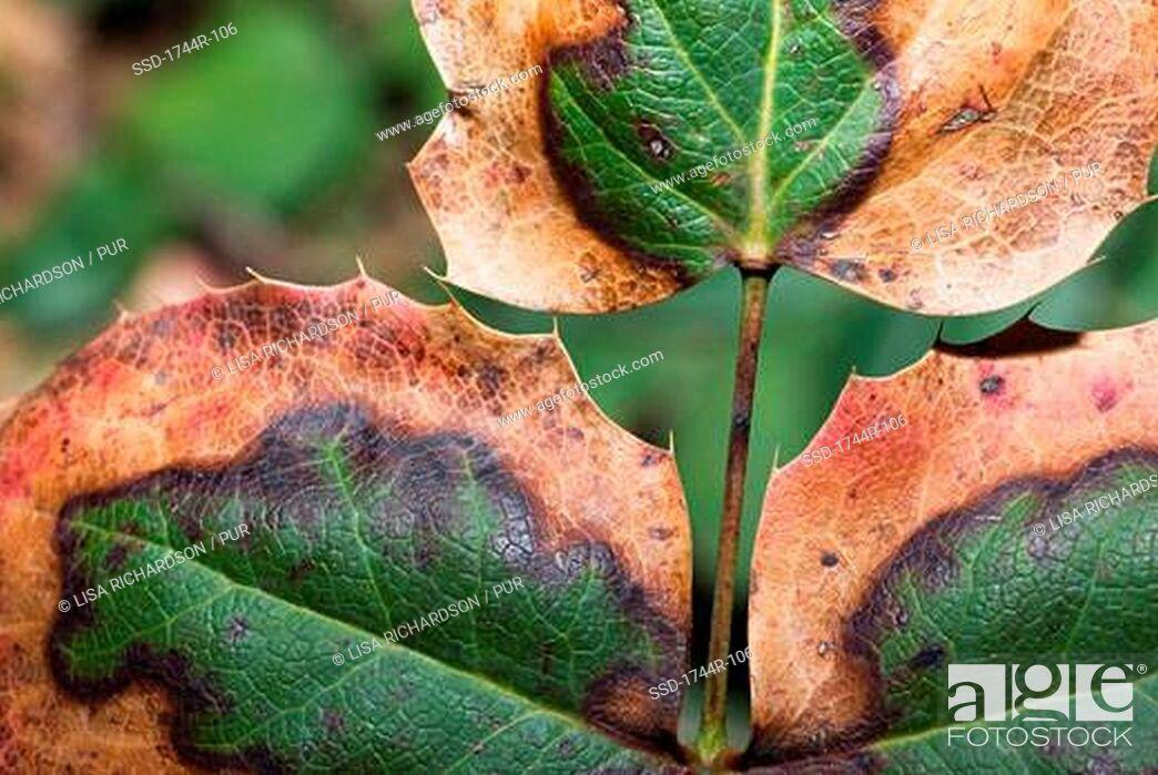 Imagen: Close-up of Berberidaceae leaves.