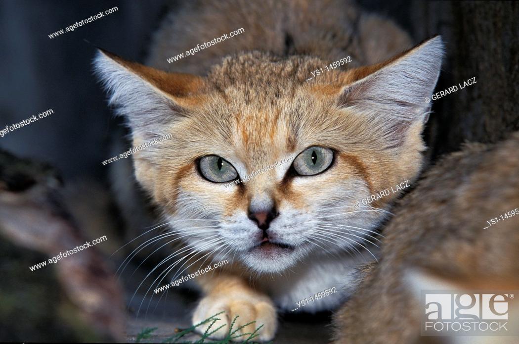 Stock Photo: SAND CAT felis margarita, PORTRAIT OF ADULT.