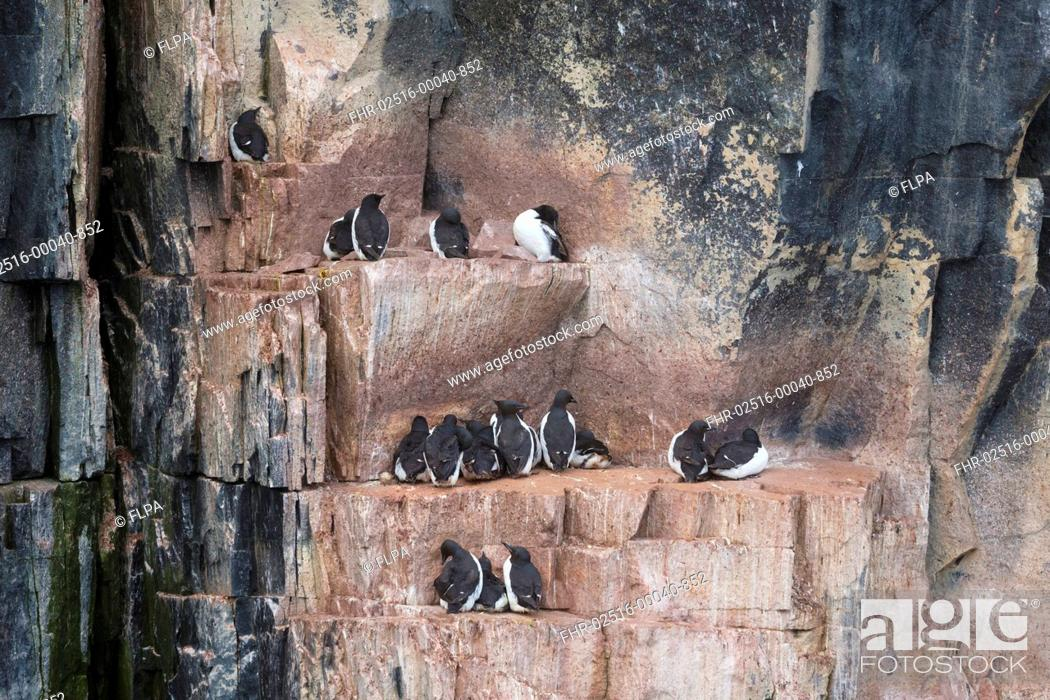 Stock Photo: Brunnich's Guillemot (Uria lomvia) adults, breeding plumage, group sitting on coastal cliff ledges, Alkefjellet, Spitsbergen, Svalbard, August.