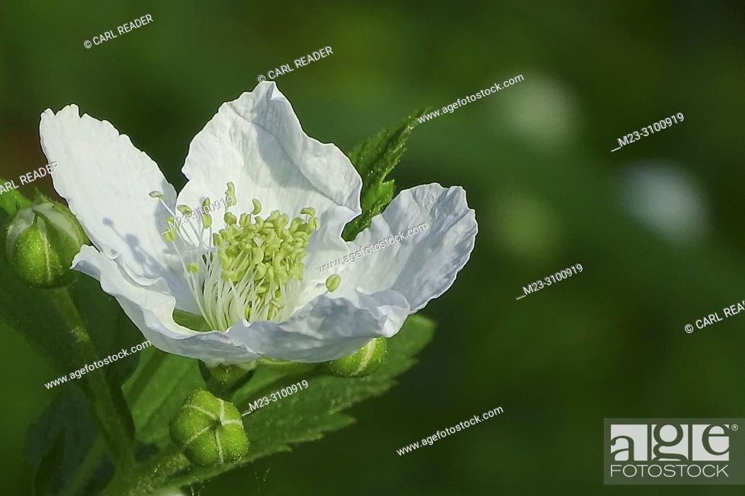Imagen: A blackberry flower in the soft morning spring air, Pennsylania, USA.