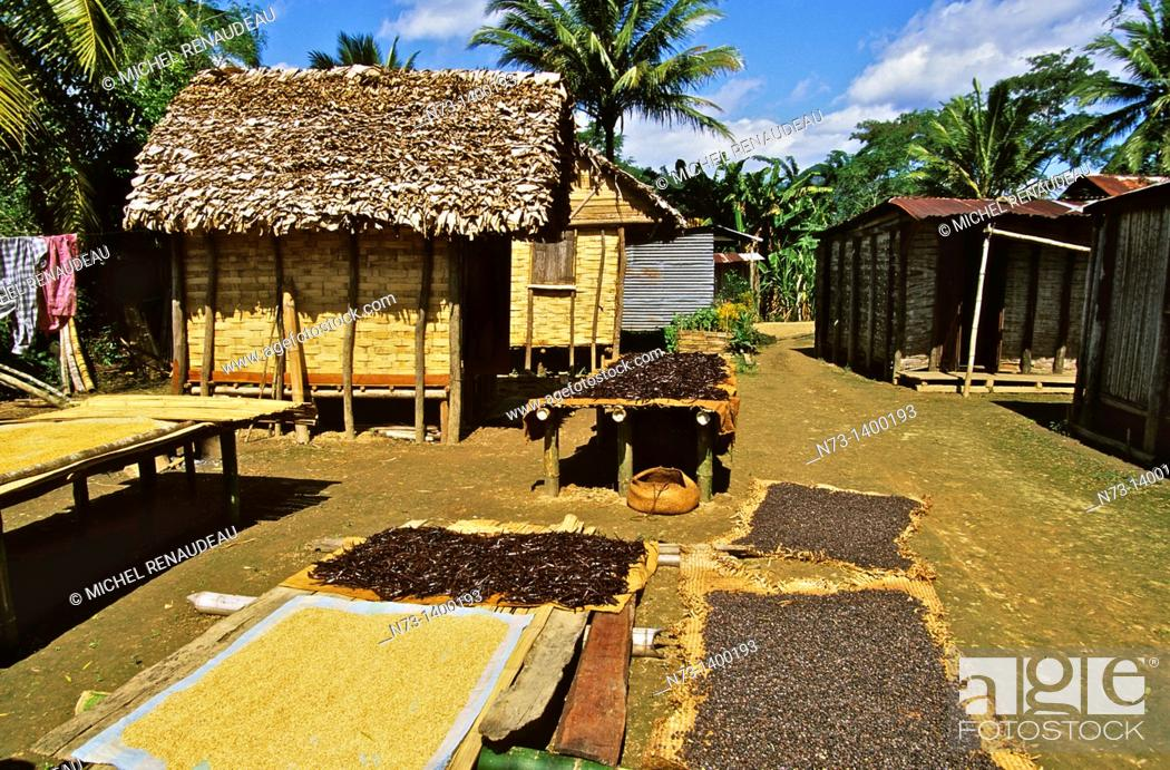 Stock Photo: Africa, Madagascar, Andapa region of Coffee.