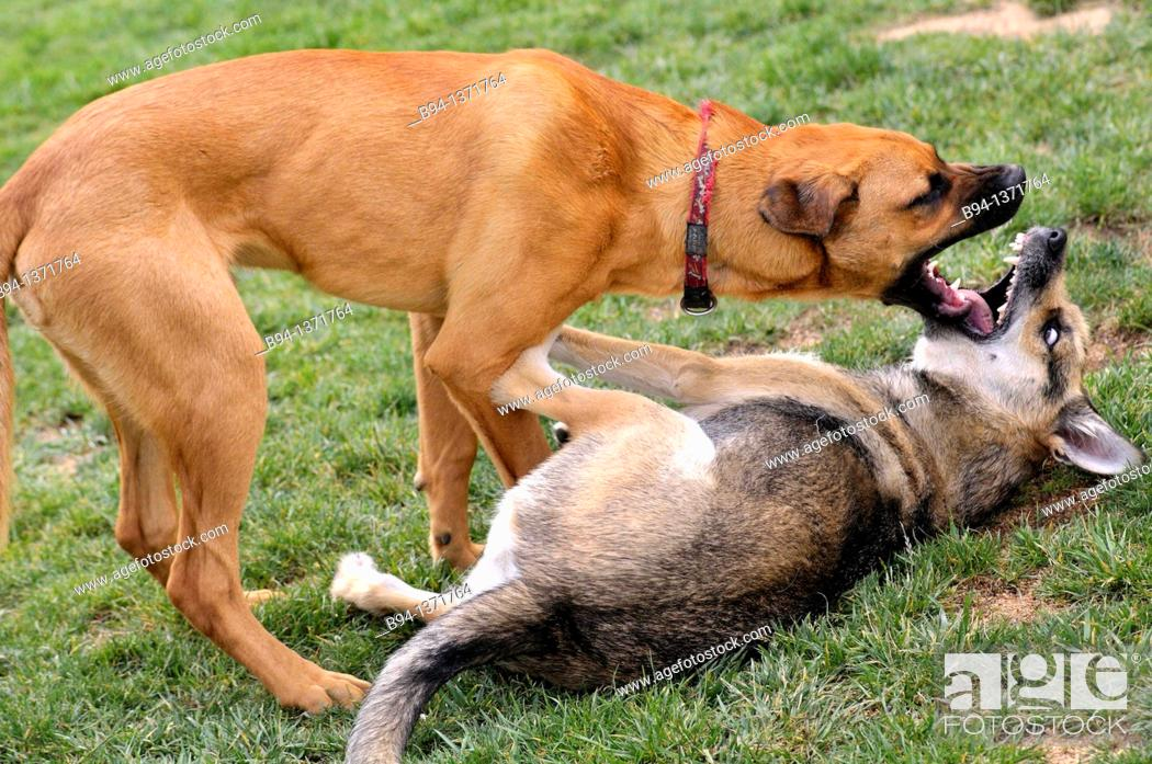 Stock Photo: German Shepherd and Rhodesian Ridgeback dogs playing on the grass. Plaça de Lesseps, Barcelona, Catalonia, Spain.