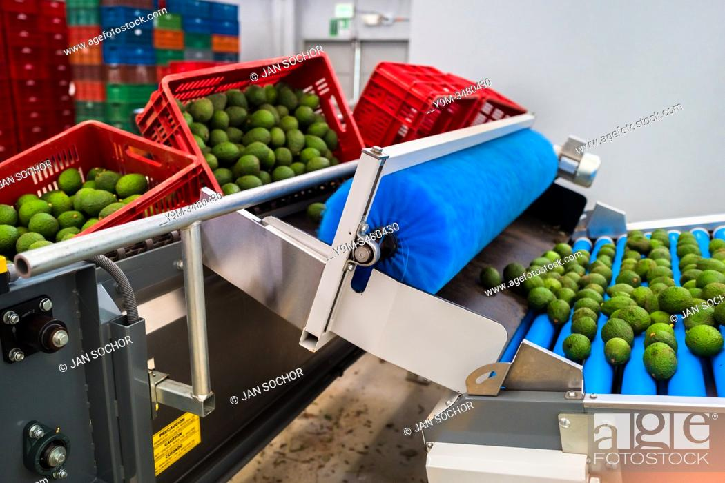 Stock Photo: Avocados are seen moving down a conveyor belt during the cleaning process at a processing plant in Sonsón, Antioquia department, Colombia, 22 October 2019.