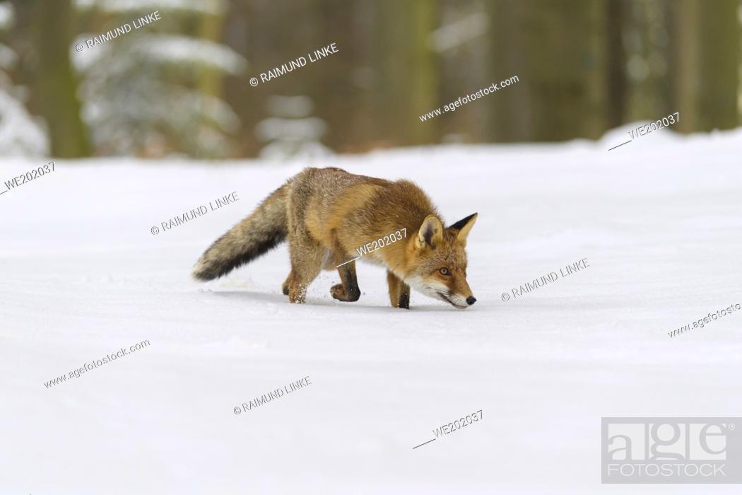 Imagen: Red Fox, vulpes vulpes, in winter.